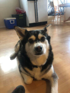 Paws for Love dog rescue has a 5 year husky Xfemale for adoptoin