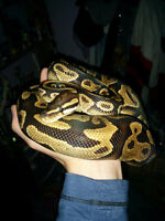 Yellow Belly Ball Python
