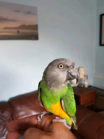 Parrot | Missing, Lost & Found - Gumtree