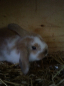 Baby Holland Lop Bunnies for Sale