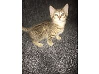 5 Tabby kittens for all ready to leave