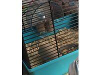 Dwalf Hamsters