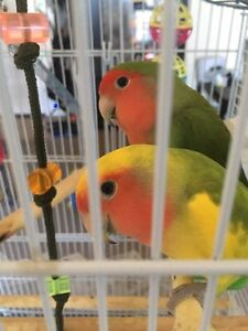 Male and female lovebirds with cage and accessories