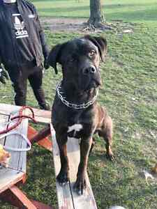 Looking for a loving family for my cane corso