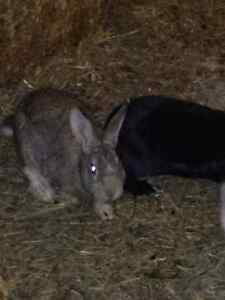 Rabbits (Bunnies) for sale 4-5 pounds