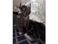 Two Boy Kitten
