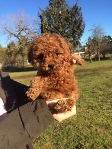 One Female Red/Apricot Toy poodle, non-shedding