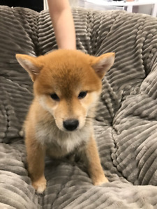 Purebreed shiba pups looking for family, 2 left