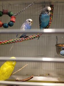 2 Pairs Of Budgies