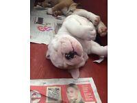 Beautiful British bulldog puppy