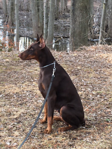 Purebred European Doberman Puppies For Sale