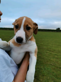 Blue Whippet X Greyhound/Collie Puppies for sale