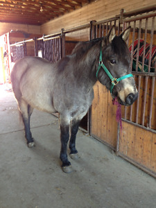 8 year old Ranch type Gelding
