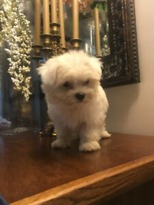 Maltese | Adopt Dogs & Puppies Locally in Toronto (GTA