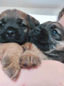 One lovely male kc registered border terrier puppy for sale