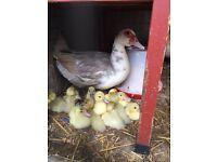 Leaven duck with 13 Ducklin