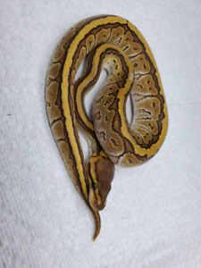 2019 Male jigsaw ball python