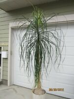 INDOOR PONY TAIL PALM TREE   ( I NEED A NEW HOME)