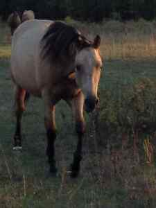 2 yr old RegQH. Buttermilk DUN filly! PRICE REDUCED