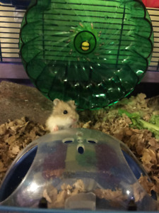 Russian Hamster / Dwarf Hamster - Locally Bred - Richmond Hill