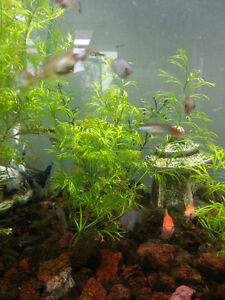4 For $1 Endler Male Guppies & Fancy Tailed Male Guppies