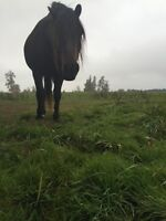 Such a sweet 5 year old Canadian cross gelding for sale