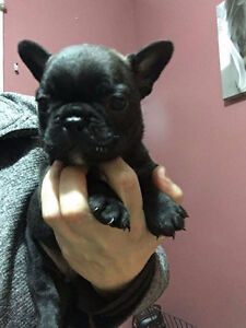 Adorable French Bulldog Puppies