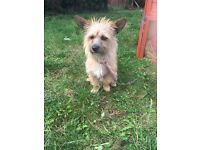 Yorkshire terrier X chihuahua X jack Russell
