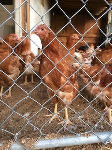 Egg laying pullets