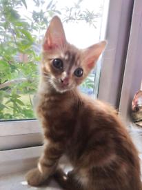 Ginger tabby female kitten 9 weeks old