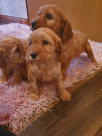 Golden cockapoo puppy's