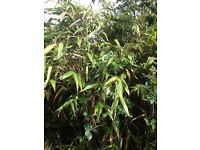 Free clumps of large leaf bamboo