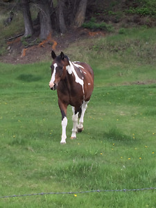 Well Trained Paint Gelding