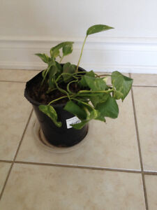 INDOOR MONEY IVY REAL small PLANT EVER GREEN in POT