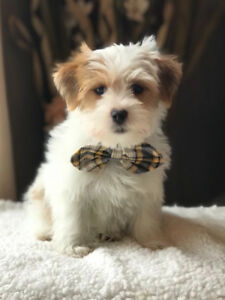 Morkie Puppies! Maltese x Yorkshire Terrier