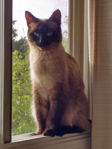 ⭐BE AWARE When Buying a SIAMESE or RAGDOLL!!⭐