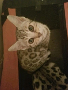 Beautiful tica registered SILVER Bengal