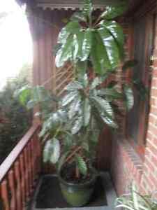 Plante intérieure (7,5 piedds de hauteur)