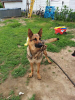 Berger allemand femelle adulte / adulte female German Shepherd