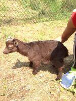 Pygmy Goat Buckling's