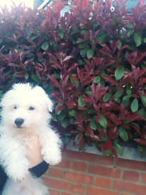 Fluffy Bichon Maltese looking for lovely owners x
