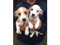 Jack Russell puppies £250 each