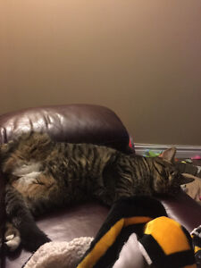 Tabby male cat to give away