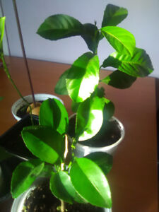 Plants , Lemon tree , Fruit trees , Orange tree , Avocado tree