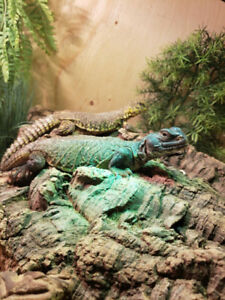 2 uromastyx for sale urgent