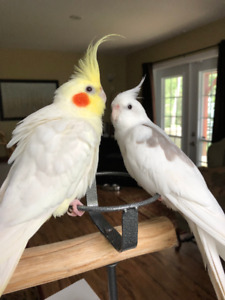 Cockatiel Pair (2 Males)