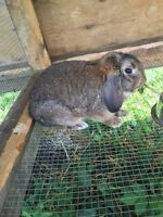 Leo the Lop bunny