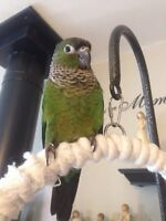 Beautiful Young Conures