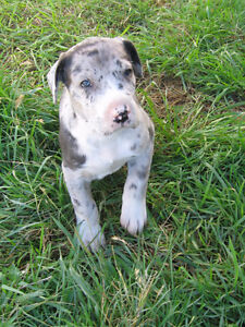Great Dane pups and one year old for sale.