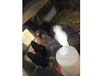 Bantam chickens for sale